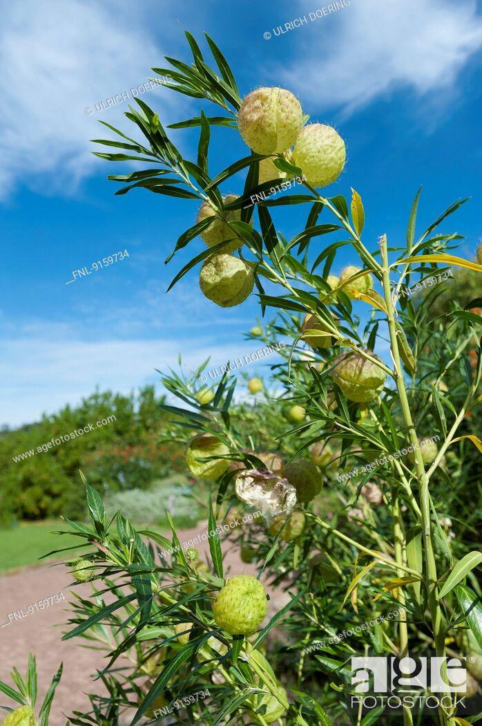 Stock Photo: Balloonplant at Kirstenbosch botanical garden, Cape Town, South Africa.