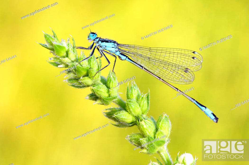 Stock Photo: Common Ischnura, Blue-tailed Damselfly (Ischnura elegans). Bavaria, Germany, Europe.