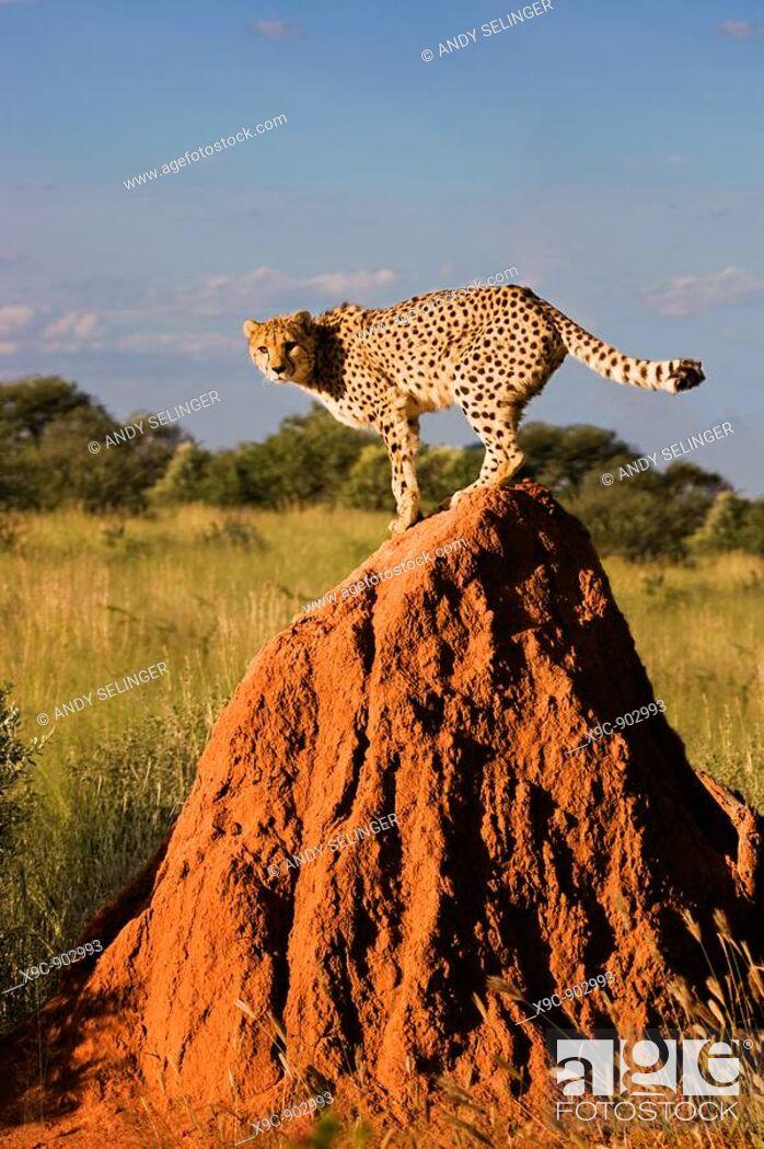 Stock Photo: Cheetah on a Termite Mount.