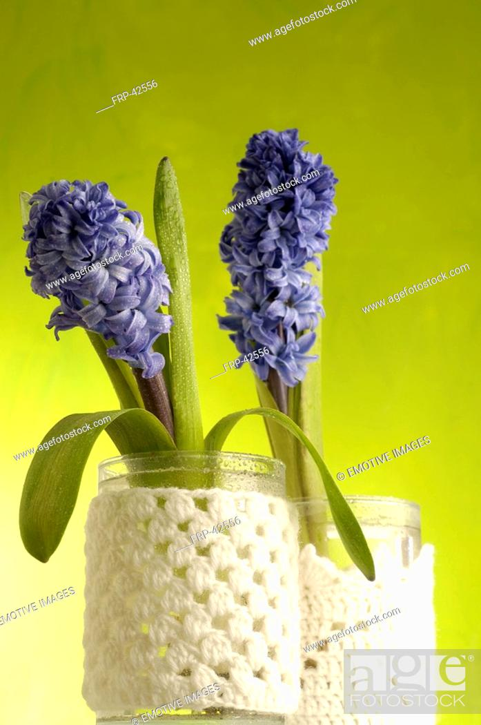 Stock Photo: hyacinths in full blossom.