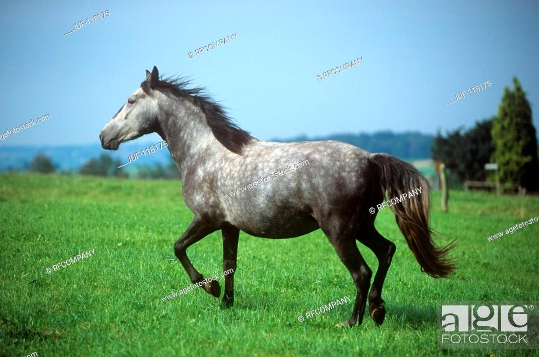 Stock Photo: Arravani horse - trotting on meadow.