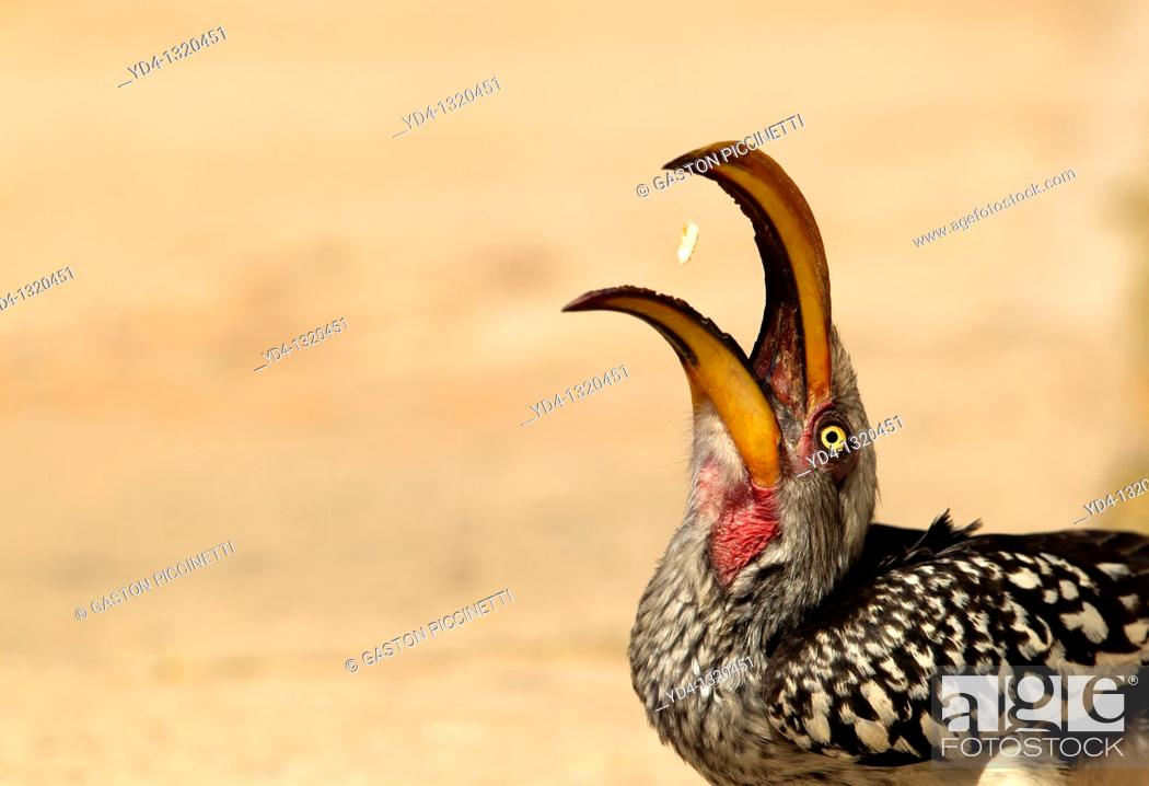 Stock Photo: Yellowbillled Hornbill Tockus flavirostris, eating, Mabuasehube, Kalahari desert, Botswana.