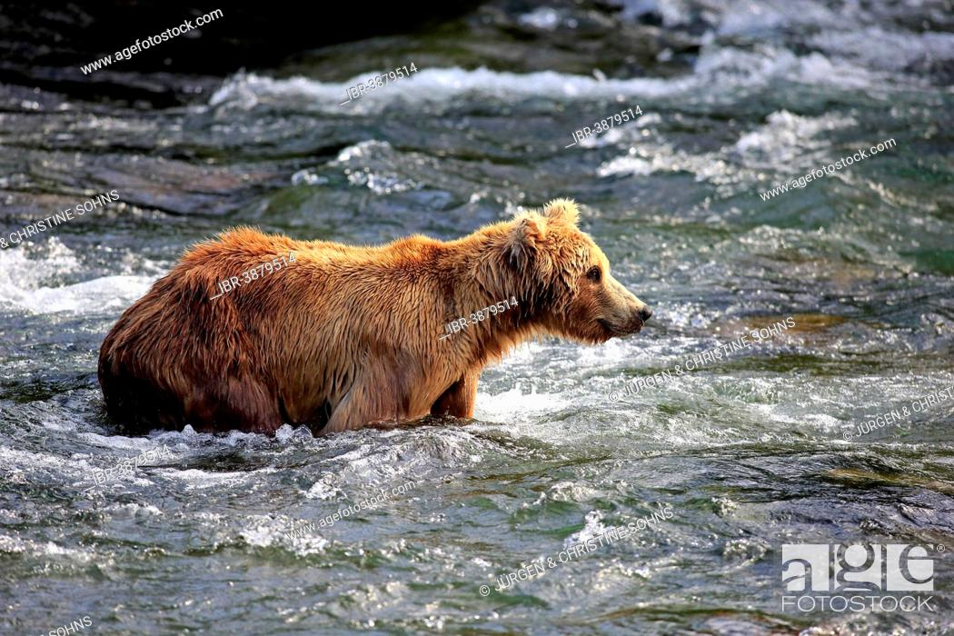 Photo de stock: Grizzly Bear (Ursus arctos horribilis) foraging in the water, Brooks River, Katmai National Park and Preserve, Alaska, United States.