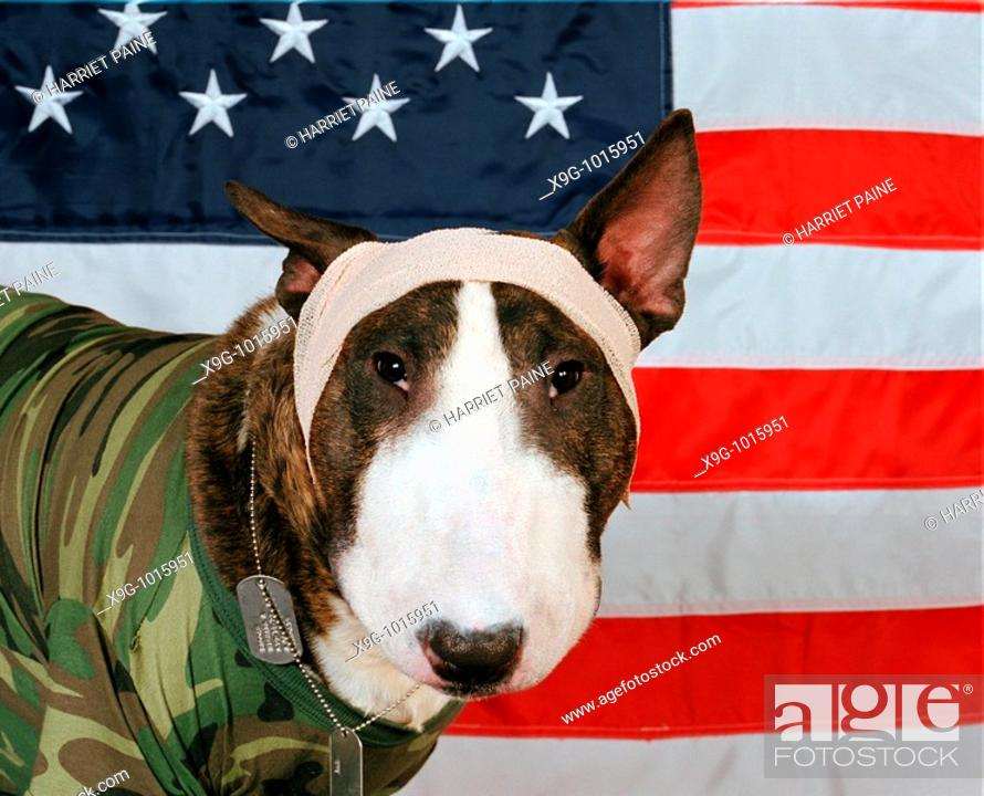 Stock Photo: English Bull Terrier with American flag.