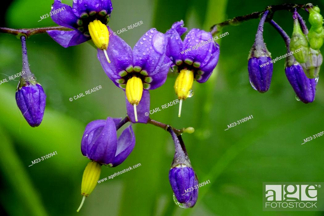 Stock Photo: The lovely flowers of nightshade, Atropa Belladonna, belie their poisonous nature, Pennsylvania, USA.