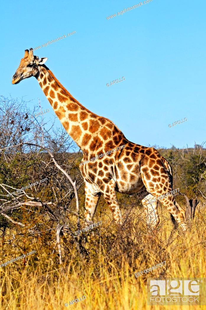 Stock Photo: Giraffes, Giraffe camelopardalis, in the African savannah, Madikwe Game Reserve, South Africa.