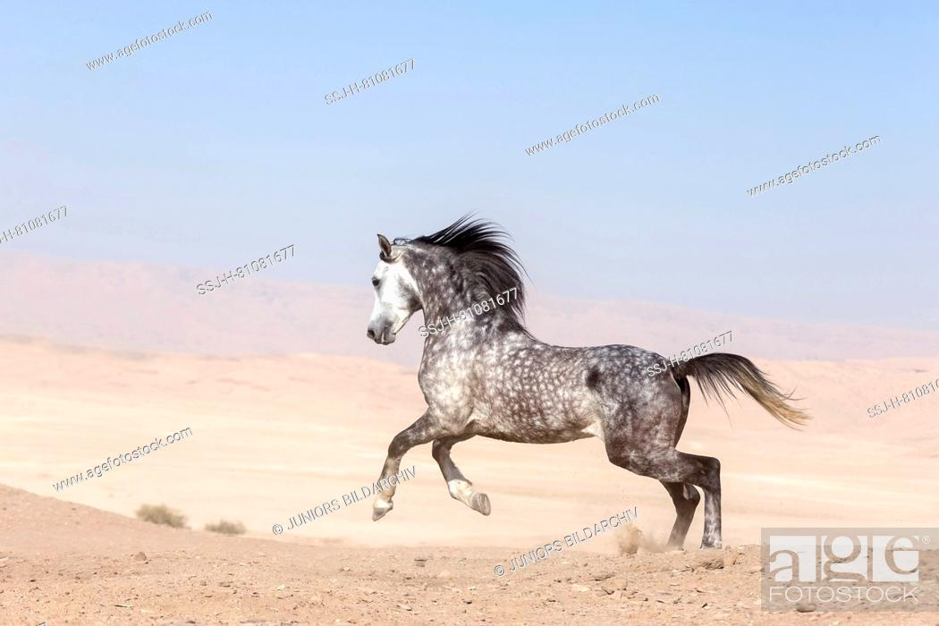 Purebred Arabian Horse Grey Stallion Galloping In The Desert Egypt Stock Photo Picture And Rights Managed Image Pic Ssj H 81081677 Agefotostock