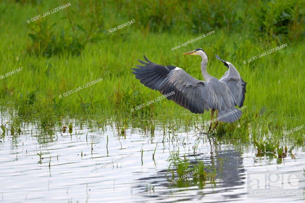 Imagen: Grey Heron (Ardea cinerea) spreading its wings, the Netherlands, Overijssel.