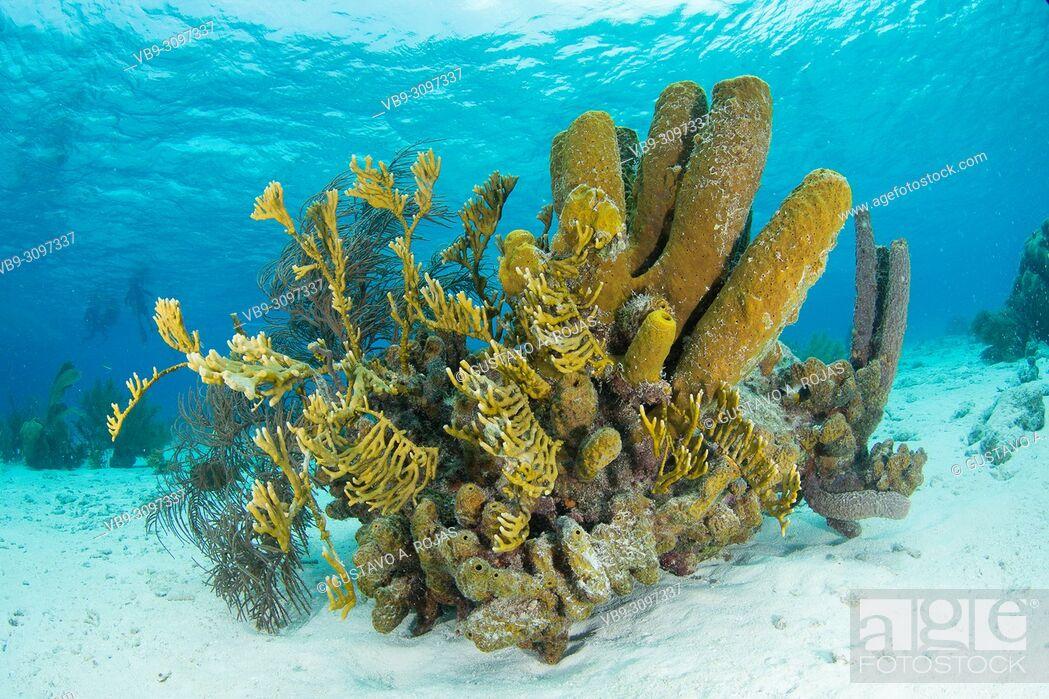 Stock Photo: Reef scenery, Yellow tube sponge (Aplysina fistularis)coral fire and Aplysina fistularis los roques - venezuela.