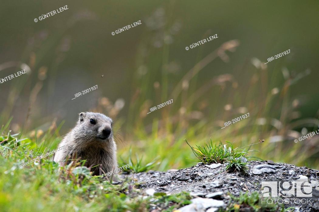 Stock Photo: Alpine marmot (Marmota marmota) sitting next to its burrow, Averstal valley, canton of Grisons, Switzerland, Europe.