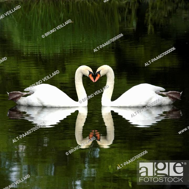 Stock Photo: Mute swans Cygnus olor touching beaks, forming heart shape.