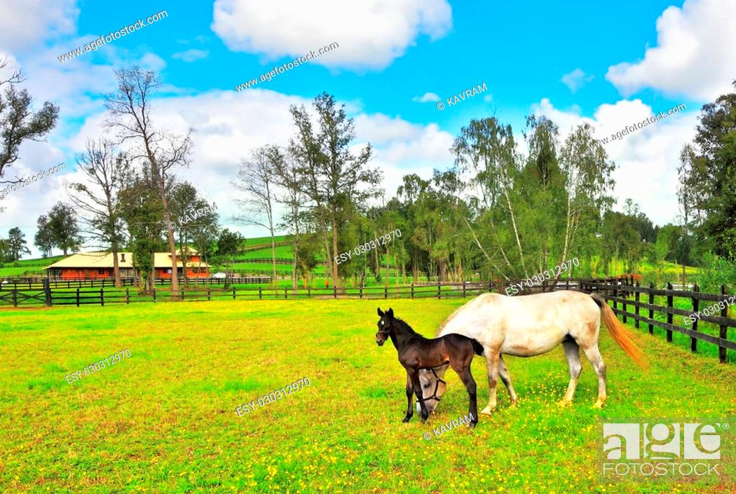 Imagen: The rich country estate, with the special fence on the green lawn thoroughbred horses graze. Beautiful white horse with a charming black colt.