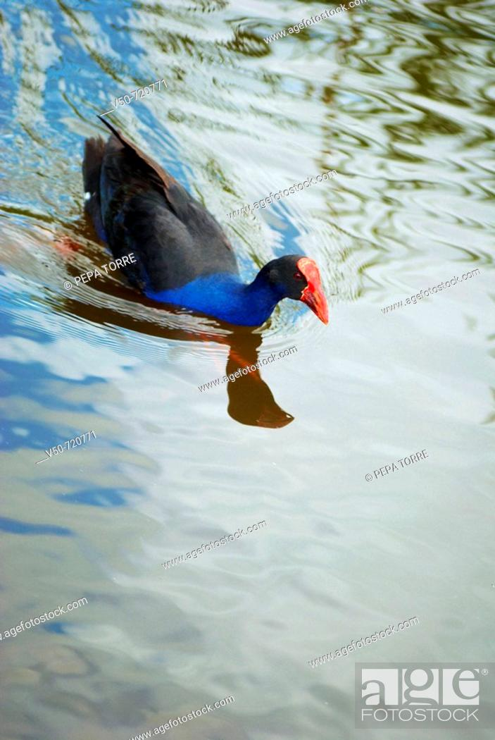 Stock Photo: Pukeko Bird swimming calmly in Hamilton Lake, New Zealand.