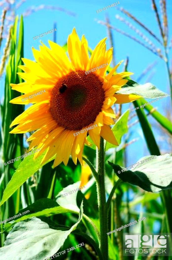 Stock Photo: Sunflower with a leaf.