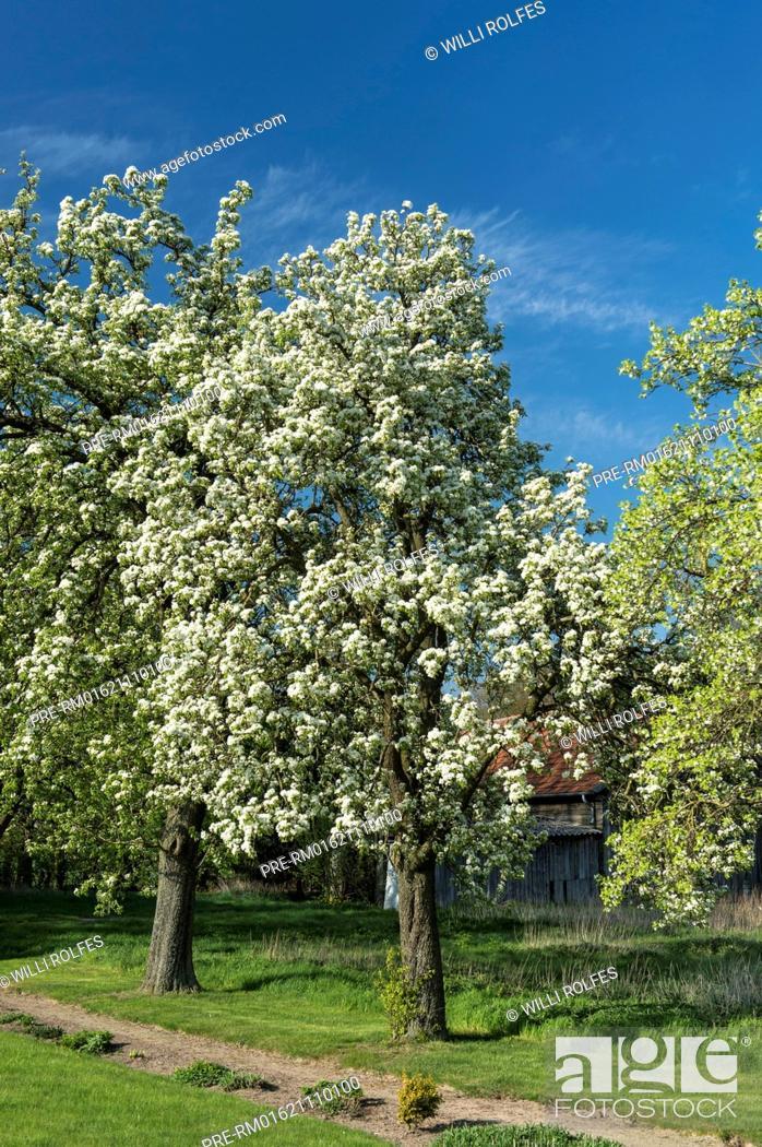 Imagen: Flowering pear tree, Vechta district, Oldenburger Münsterland, Lower Saxony, Germany / Blühende Birnbäume, Landkreis Vechta, Oldenburger Münsterland.