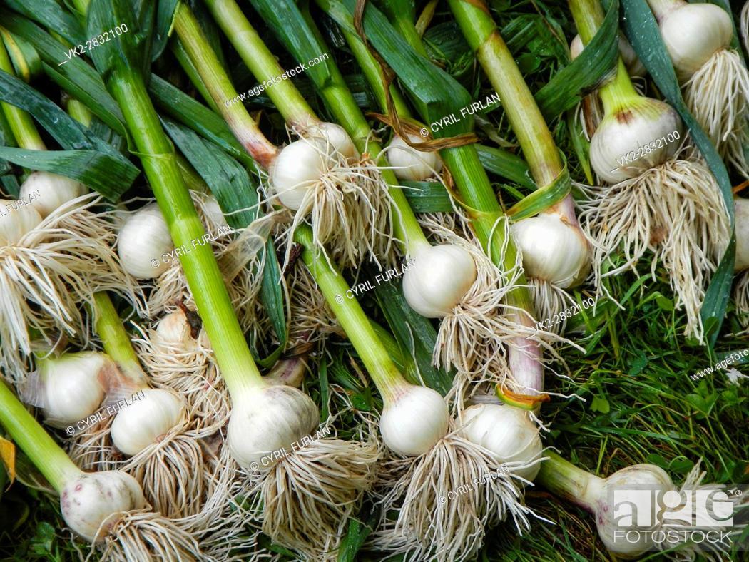 Stock Photo: Freshly Harvested Garlic, from the home vegetabale garden.