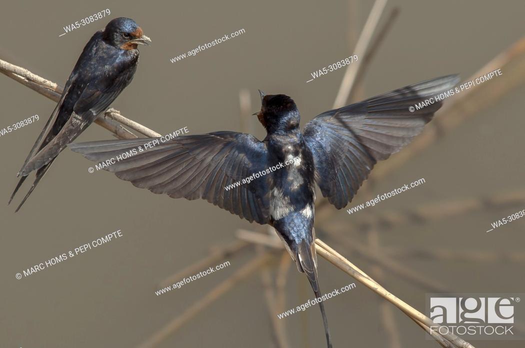 Imagen: Two Barn swallow talking posed on a cane, in Aiguamolls de l'empordà Natural Park, Catalonia, Spain.