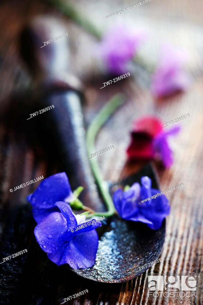 Stock Photo: Sweet Pea flowers with hand trowel on wet wooden garden bench.