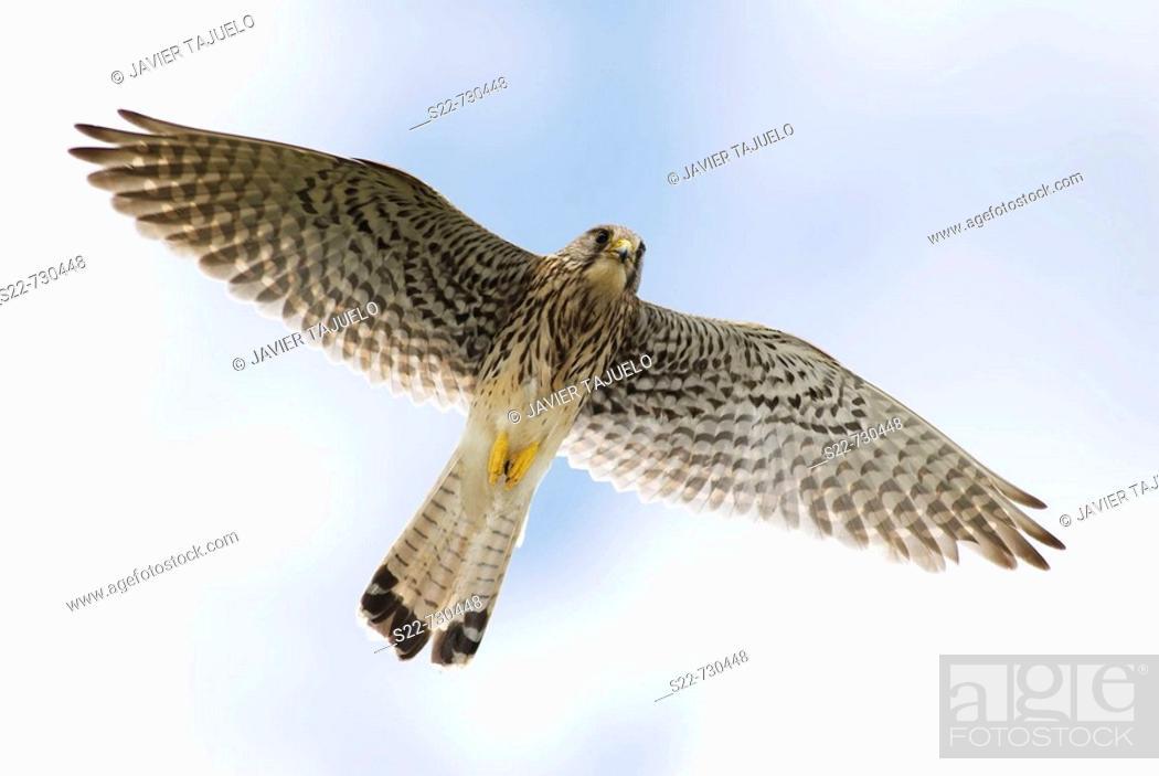 Stock Photo: Kestrel (Falco tinnunculus), female.