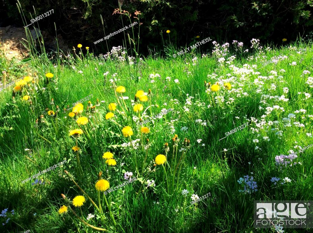 Stock Photo: spring flower meadow in May, Bavaria, Germany, Europe.