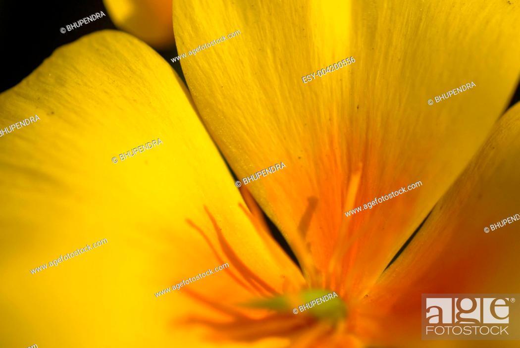 Stock Photo: yellow california poppy flower.