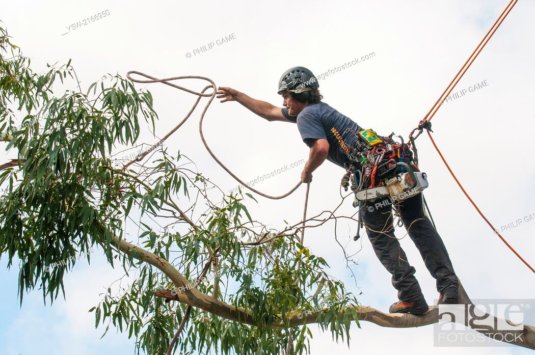 Stock Photo: Tree pruner at work on a lemon-scented gum (Eucalyptus) in suburban Melbourne, Australia.
