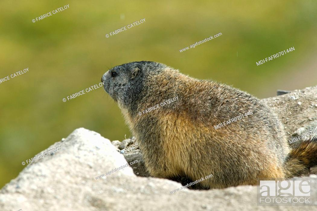 Stock Photo: Marmot at the entry of its burrow in the natural regional park of Queyras.