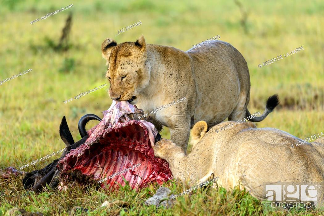 Imagen: Lion (Panthera leo) feeding on a blue wildebeest or common wildebeest, white-bearded wildebeest or brindled gnu (Connochaetes taurinus).