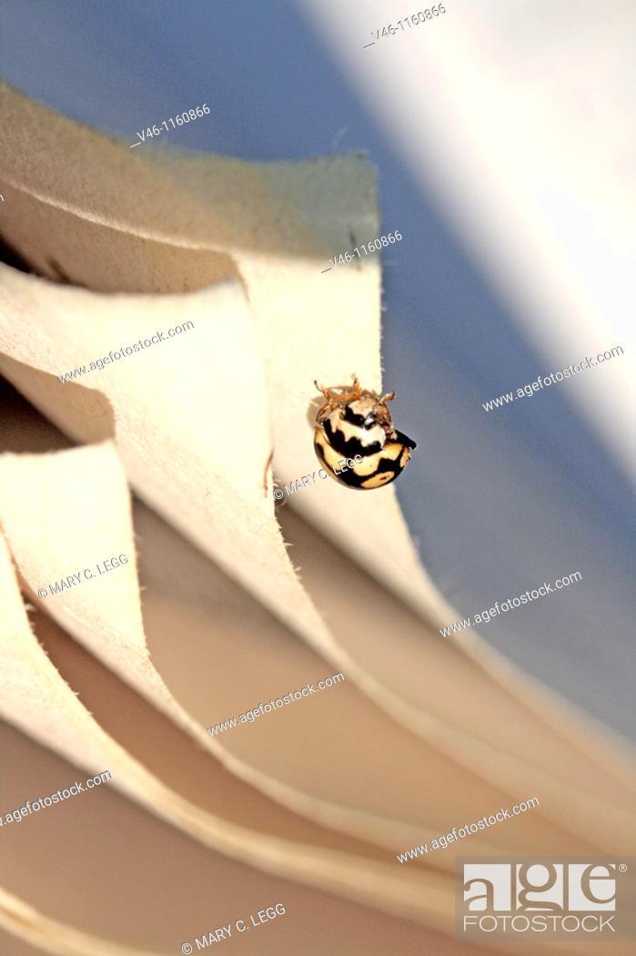 Stock Photo: Coccinula quatuordecimpustulata, Fourteen-spot Ladybird Beetle runs alon the riffled edges of a book  The Fourteen-spot runs along the corner edges of a book.