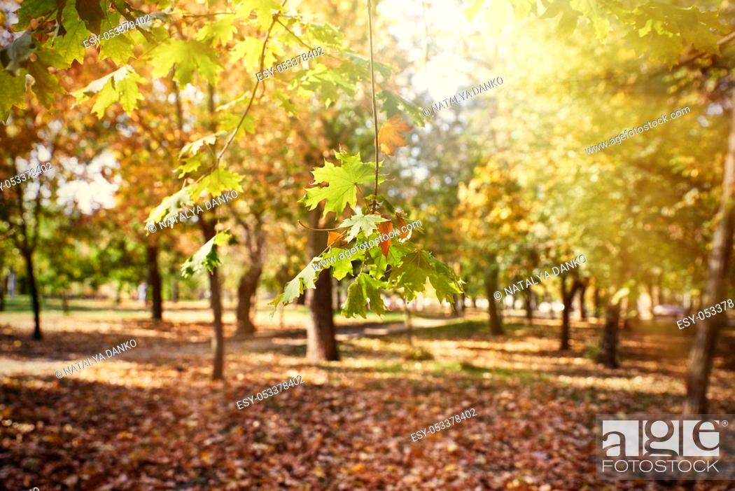 Stock Photo: Maple branches with yellow and green leaves. autumn city park with yellowed leaves on the trees in the sun, day.