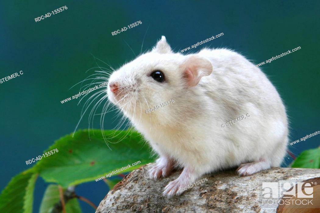Roborovski Hamster Phodopus roborovskii, Stock Photo