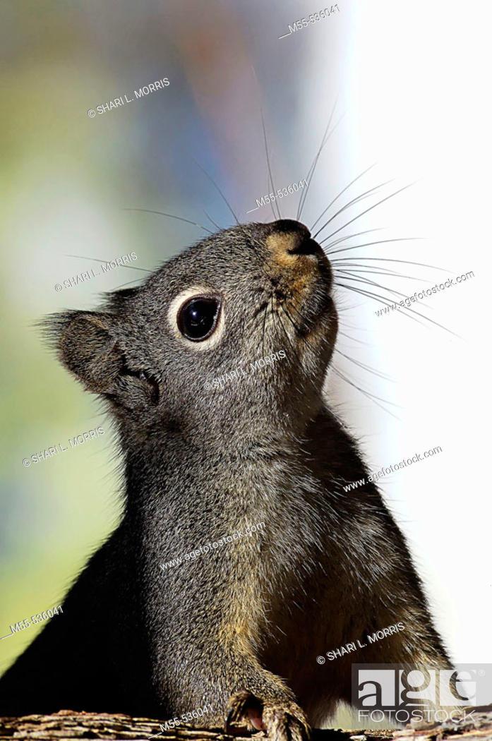 Stock Photo: Gray Squirrel (Sciurus carolinensis).