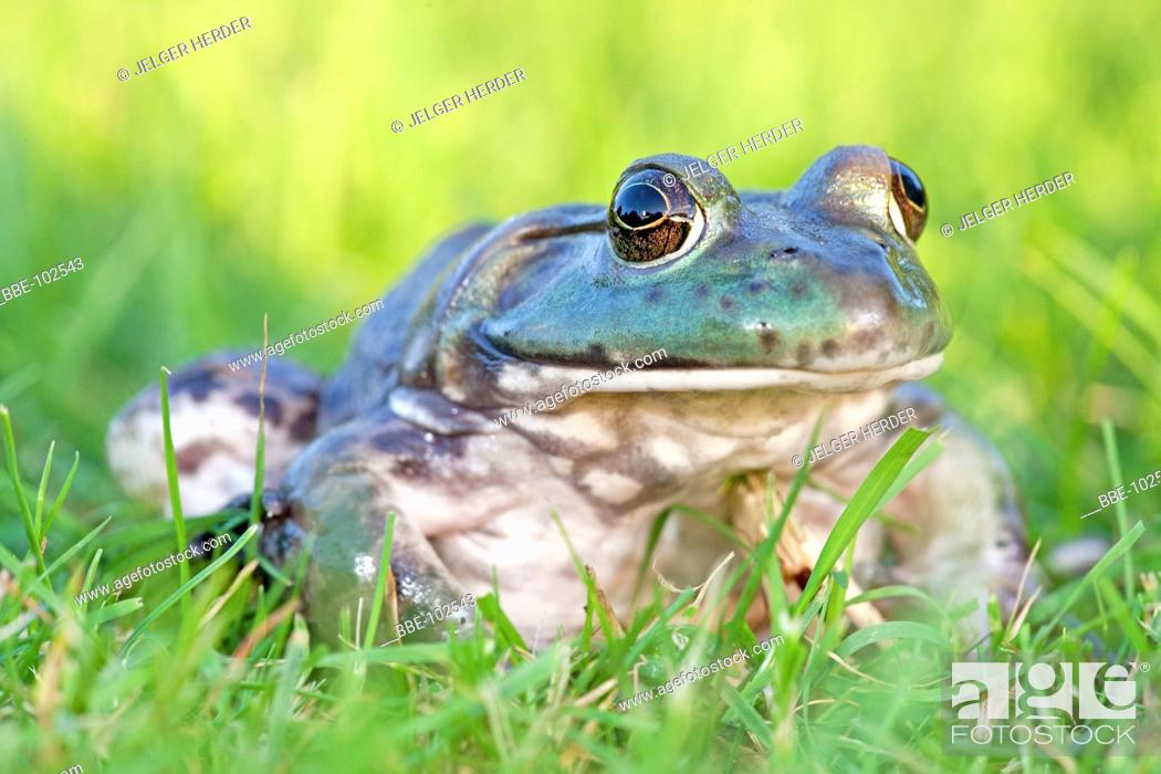 Stock Photo: photo of a North American Bullfrog sitting in green grass,.