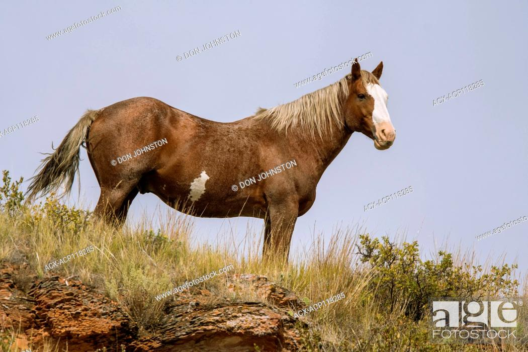 Stock Photo: Feral horse (Equus ferus) or (Equus ferus caballus), Theodore Roosevelt NP (South Unit), North Dakota, USA.