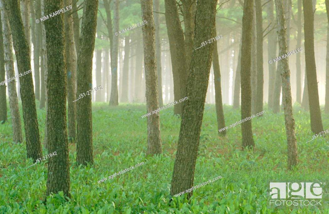 Stock Photo: Tree trunks on a foggy morning. Harvard, Illinois. USA.