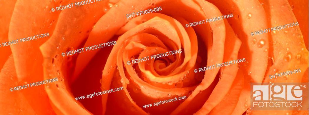 Stock Photo: One orange Rose with dew.