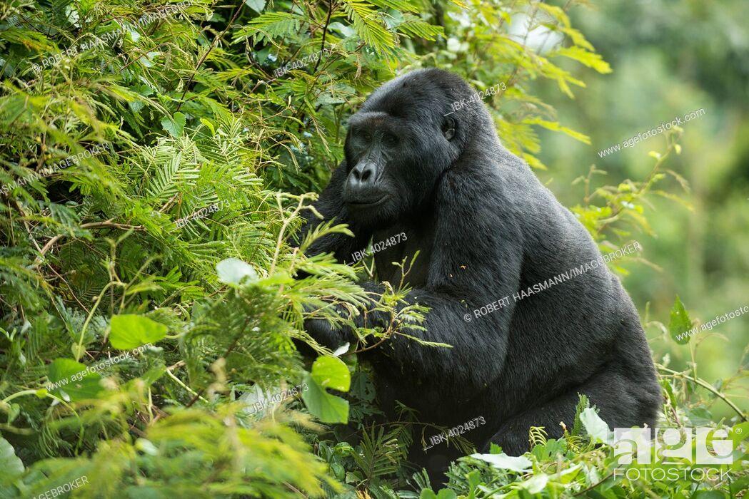 Stock Photo: Mountain Gorilla (Gorilla beringei beringei), Bwindi Impenetrable National Park, Uganda.