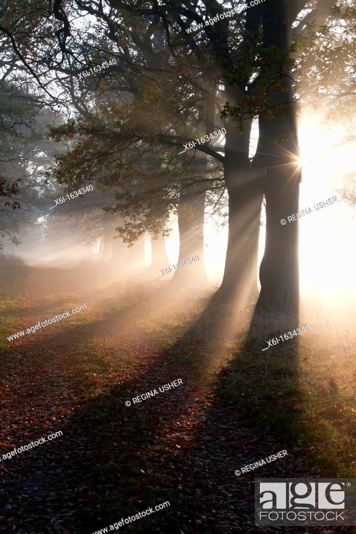 Stock Photo: Common Oak Quercus robur, Allee in Autumn Mist and Morning Sunshine, Beberbeck, North Hessen, Germany.