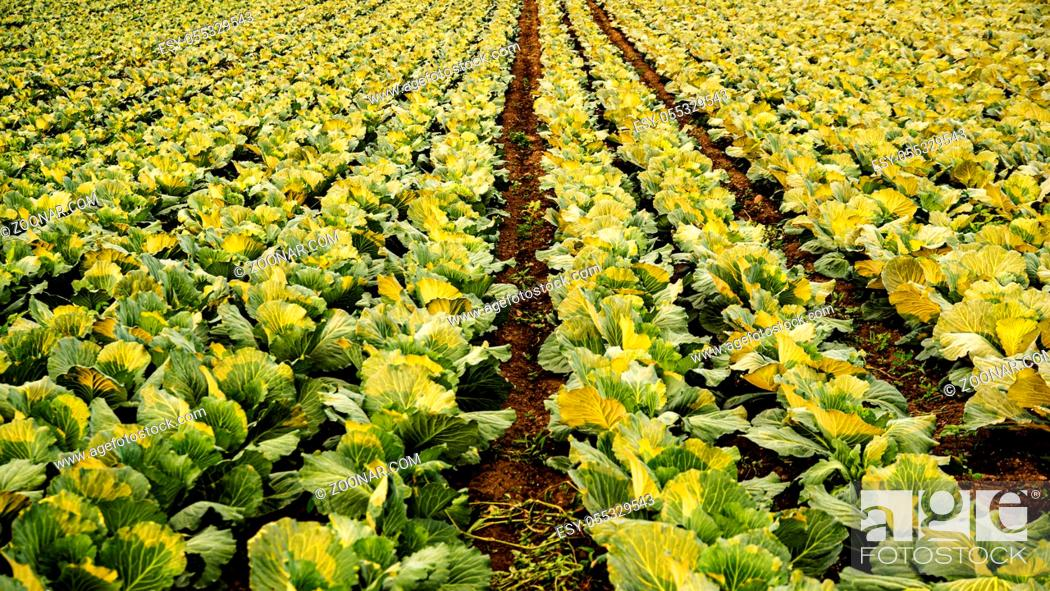 Stock Photo: Green cabbages heads in line grow on field. Agriculture concept.