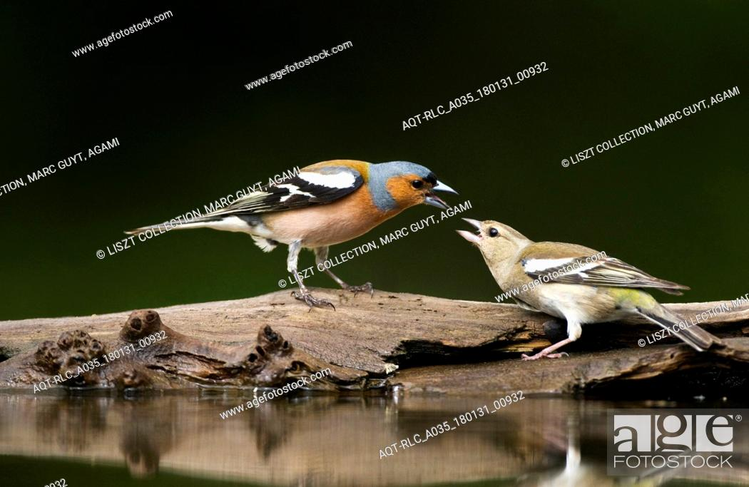 Stock Photo: Common Chaffinchs in fight.