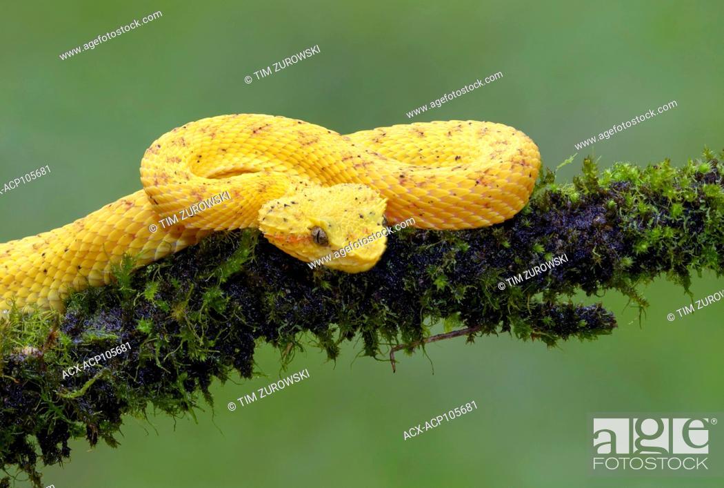 Stock Photo: Yellow eyelash pit viper, Bothriechis schlegelii, Costa Rica.