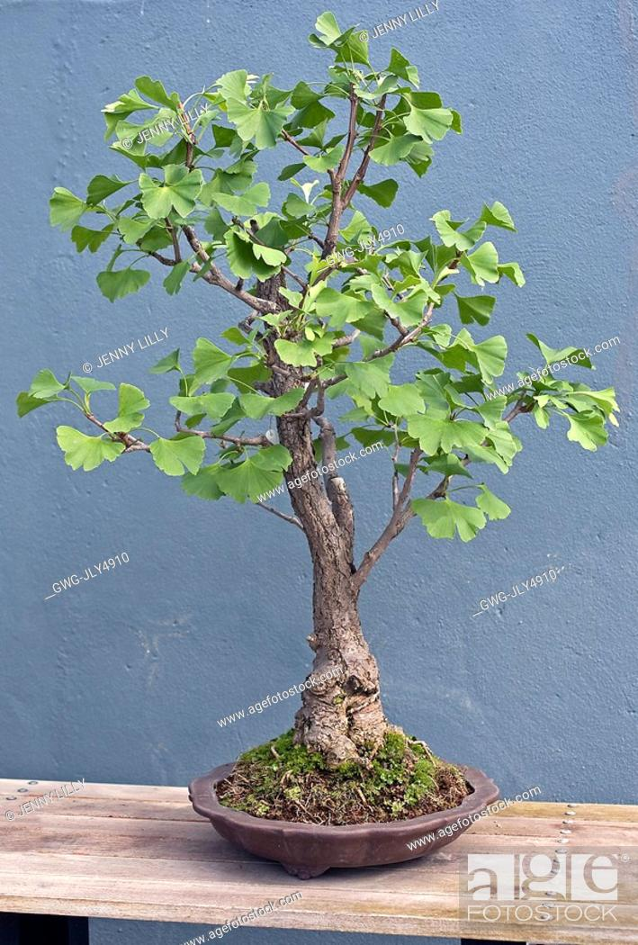 Ginkgo Biloba Bonsai Stock Photo Picture And Rights Managed Image