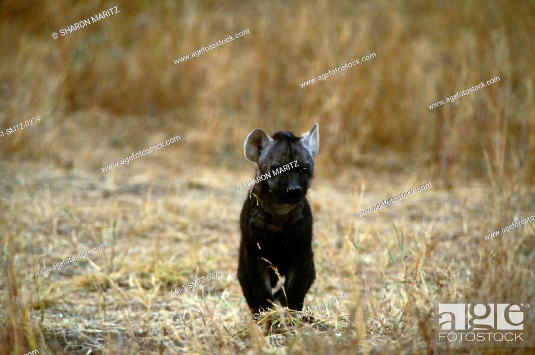 Hyena pup, South Africa, Stock Photo, Picture And Rights