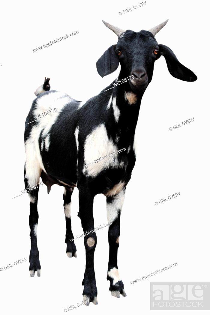 Stock Photo: Goat cutout.
