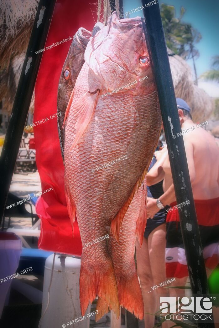 Stock Photo: RED SNAPPER.