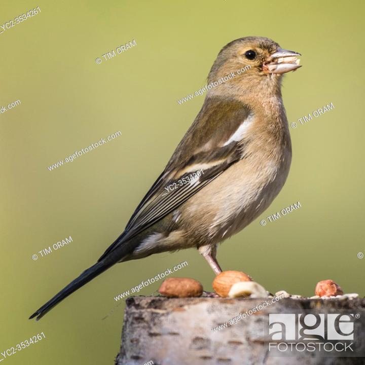 Stock Photo: A female Chaffinch (Fringilla coelebs) in the uk.