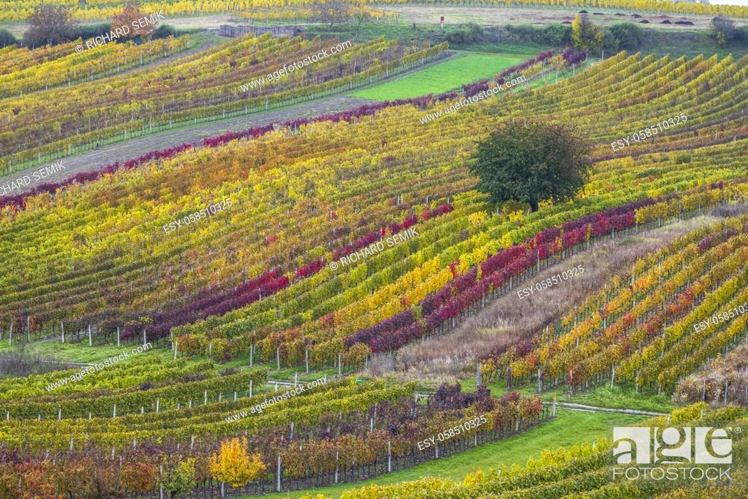 Stock Photo: Autumn vineyard near Cejkovice, Southern Moravia, Czech Republic.