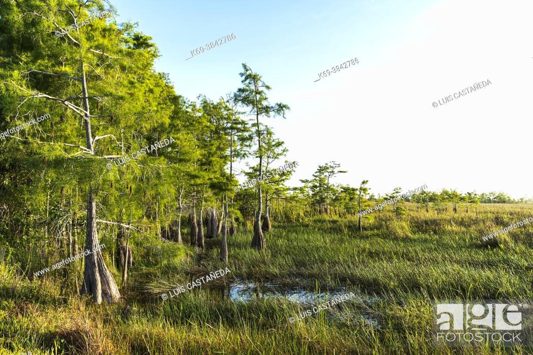 Imagen: Dwarf Cypress. River of Grass. The Everglades. Florida. USA. (Testing the Pentax 31mm f/1, 8 Limited).