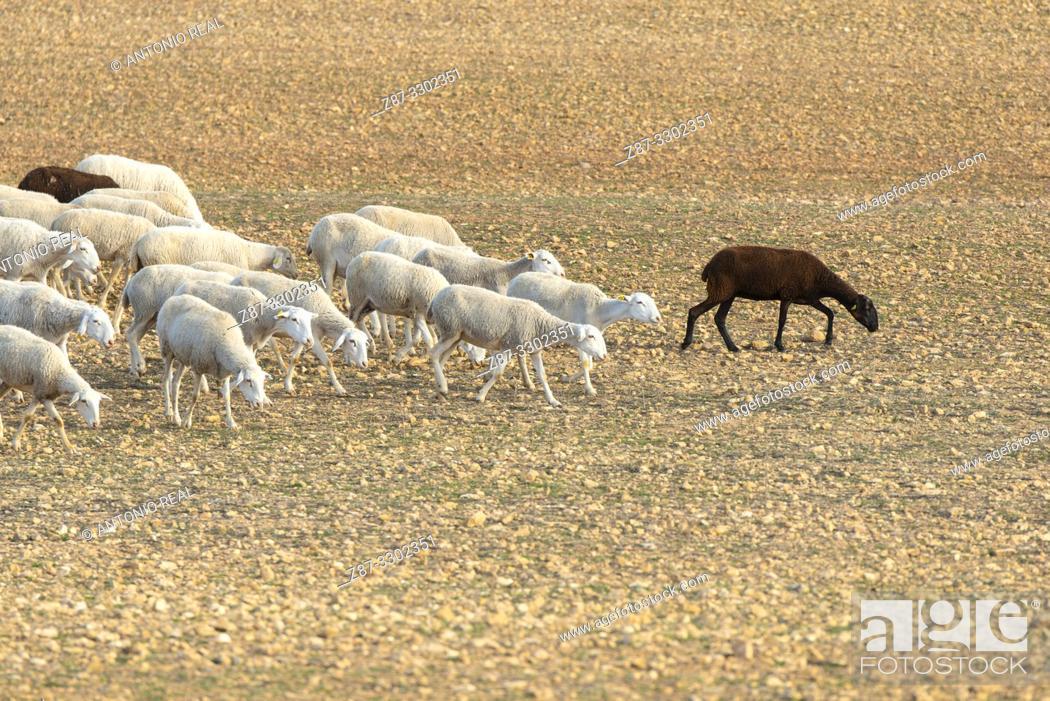 "Stock Photo: Flock of """"Manchega"""" sheep. Sugel. Almansa. Albacete . Castile-La Mancha. Spain."