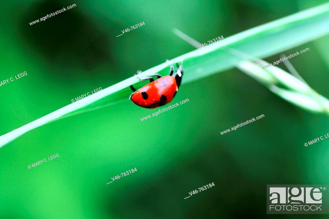 Stock Photo: Seven Spot Ladybeetle upside-down on a blade of grass  A seven-spot ladybird beetle hangs upside down on a blade of grass.